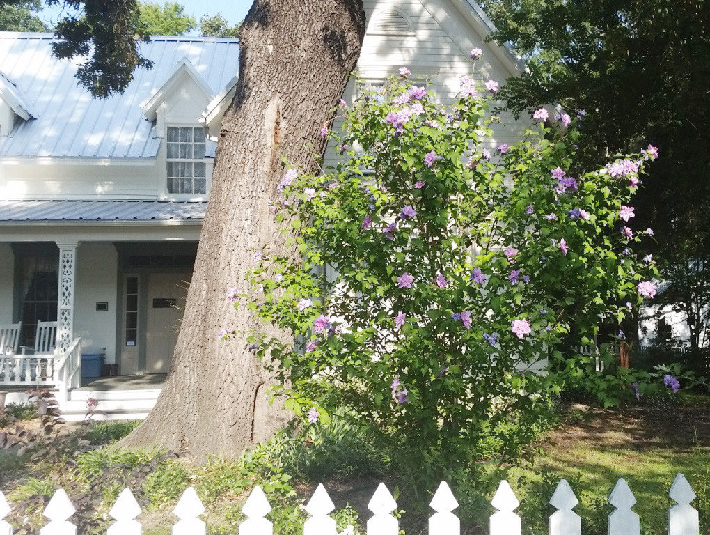 A double purple rose of Sharon in front of the Stinson House at the Quitman Arboretum and Botanical Gardens.