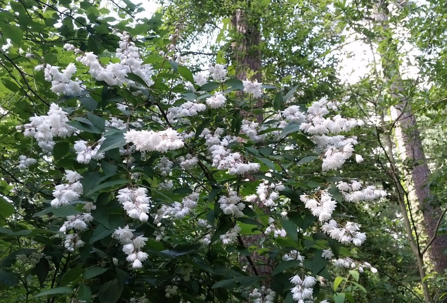 The old-fashioned shrub with a funny-sounding name: Deutzia