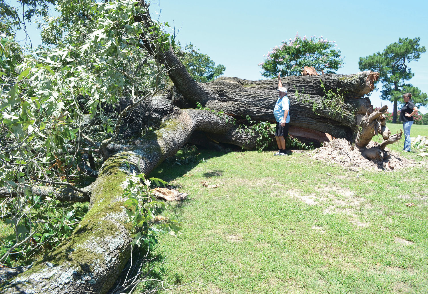 Donnie Drake demonstrates the size of the massive oak at Mineola Country Club that has stood over the course its entire 87-year history, and perhaps centuries before that. It blew down in a storm Wednesday evening, July 10.