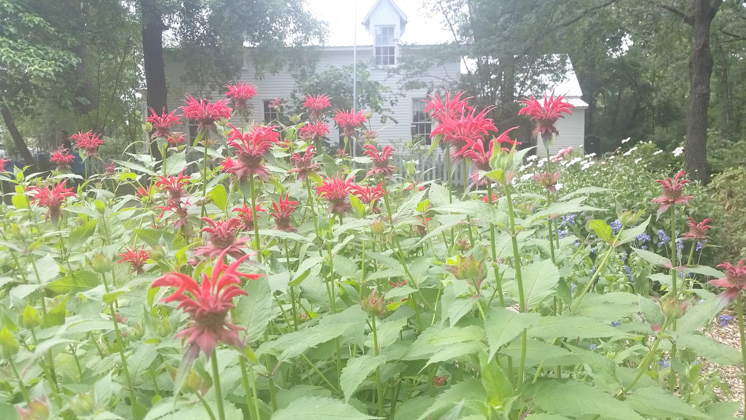 Bee Balm can spread beyond its boundaries in a garden.