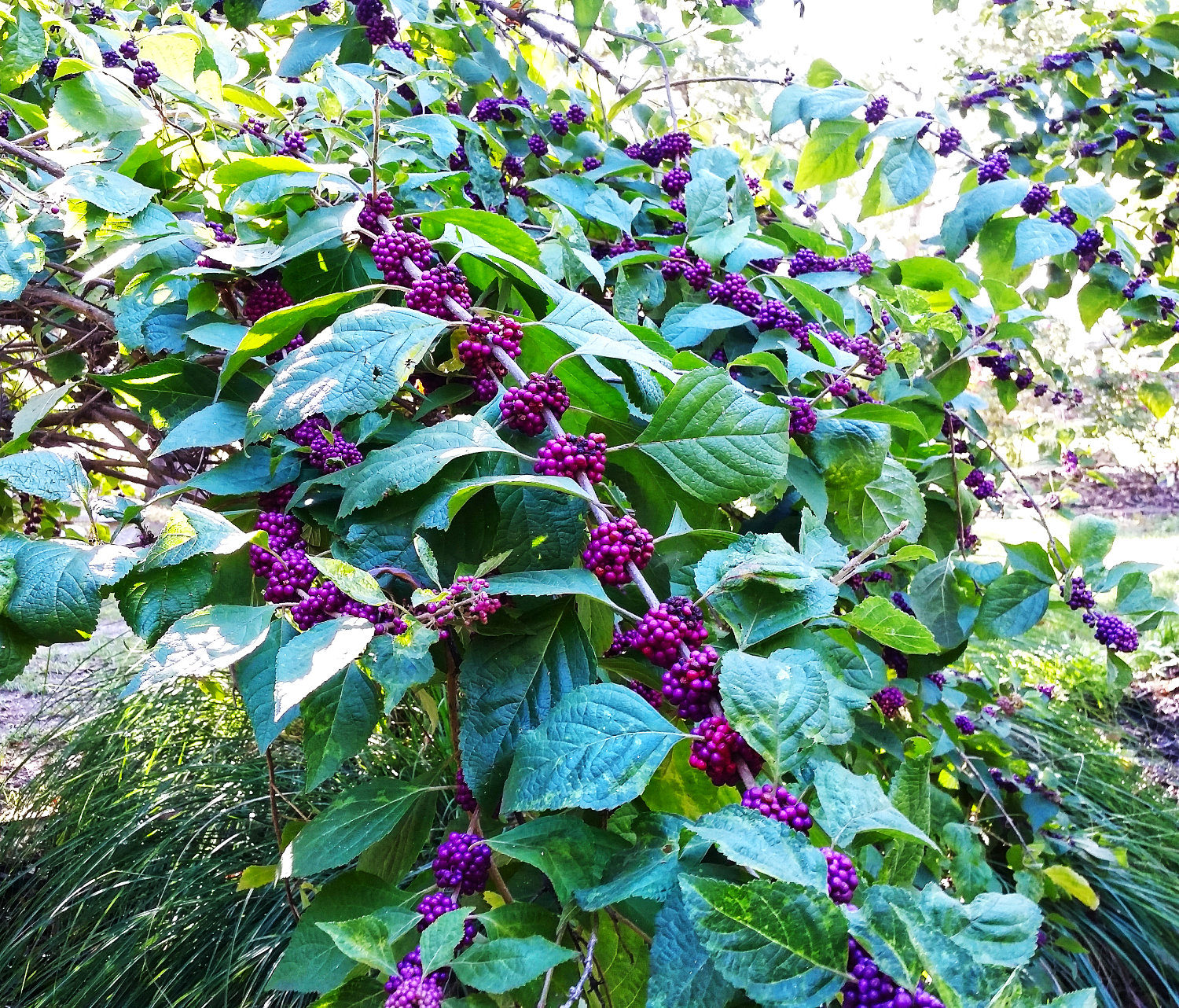 The purple berries make beautyberry a standout in the fall.