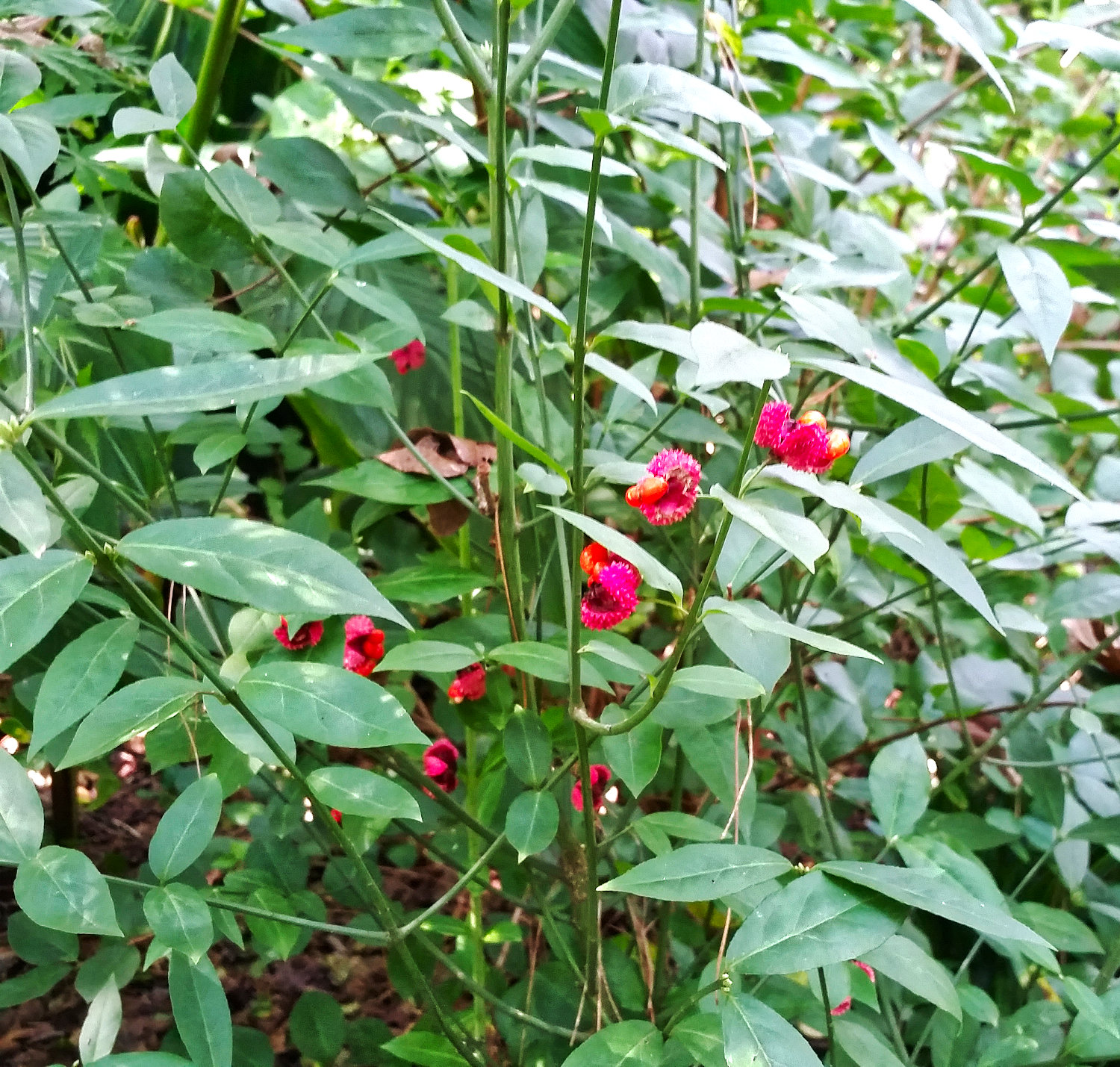 The seed pods on this native shrub earned its name 'hearts-a-burstin'.""