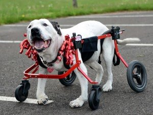 Vet care grant recipient, Lucy, seen here in May of this year, has not been able to walk for over a year.Sam's Hope was able to provide a full support wheelchair for her, as well as ongoing medical care.(Photo by Marianne Iaquinto)