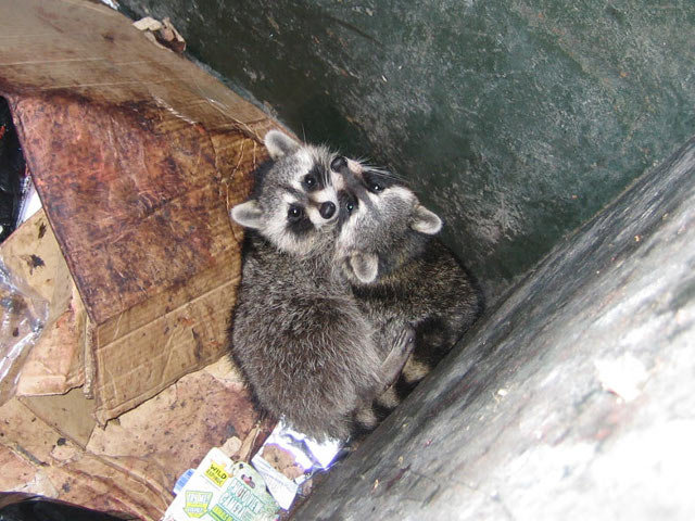 These beautiful raccoon siblings were unable to get out of a dumpster, which they had entered in search of food. Experienced animal handlers were able to extricate them and return them to the wild.
