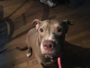 Helen, an 8-year-old Pit Bull Terrier, was saved from probable euthanasia by Sam's Hope in Wyndmoor.