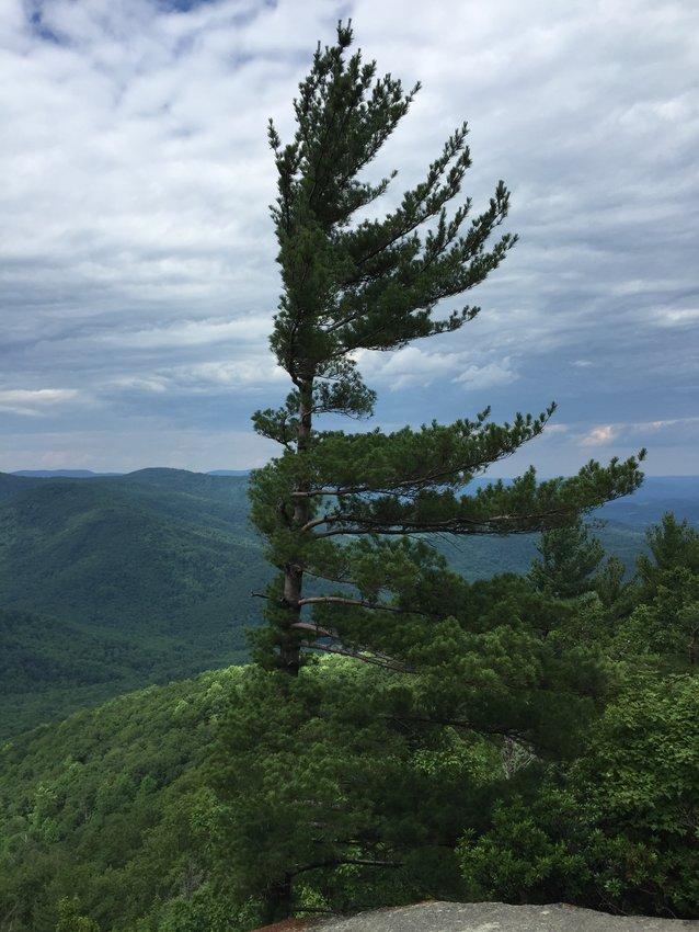 An Eastern White Pine at about 2,640 feet above sea level along the Ridge Trail on the northeast side of Old Rag Mountain within Shenandoah National Park, in Madison County, Virginia (Photo by Famartin/wikicommons)