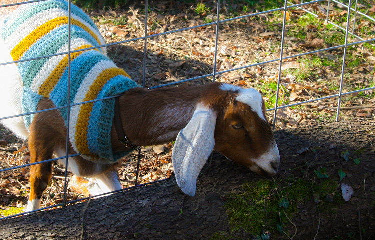 Goats can eat up to 25% of their body weight per day in leafy, overgrown vines, including poison ivy. (Photo by Walt Maguire)