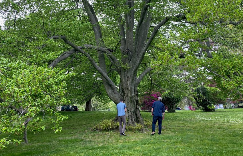 Darren Damone and Todd Montgomery, landscape architects with Andropogon, inspect a century-old English Beech.