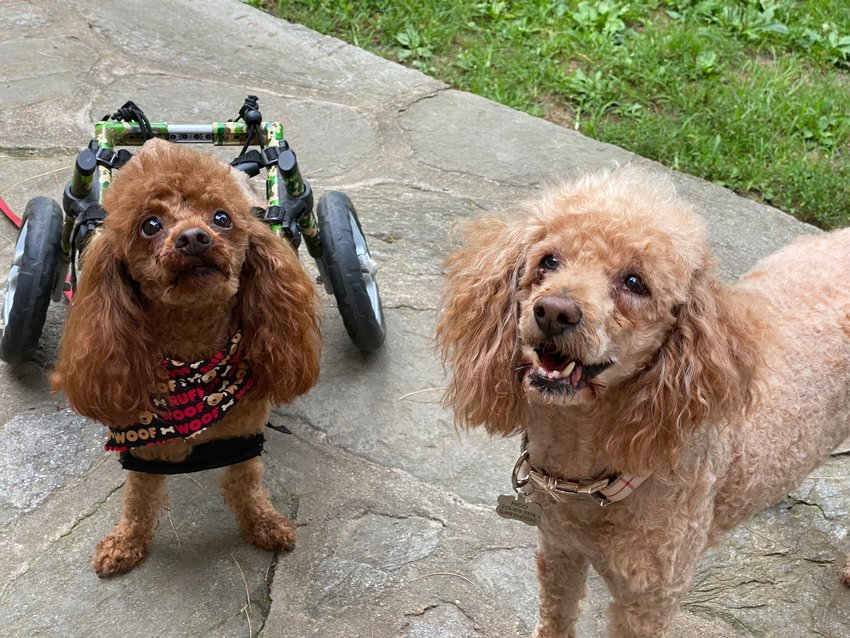 Enzo (left), whose two back legs are paralyzed and who was rescued from a dog slaughterhouse in China, is seen with his best buddy, Rico, a miniature poodle, who was rescued after being used as bait in pitbull dog fights. (Photo by Claire Etheredge)