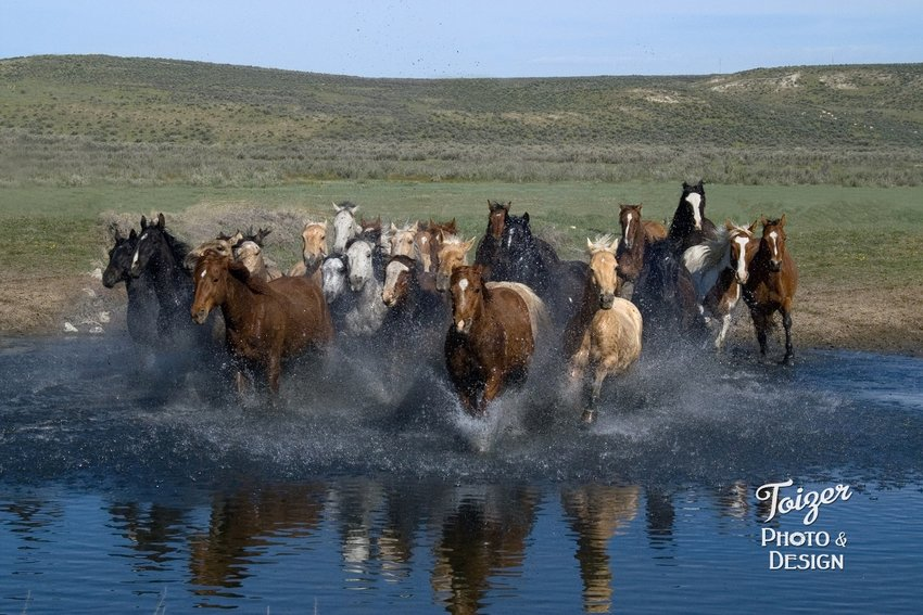 """Toizer took this terrific shot in Colorado. """"I was on a trip with the Equine Photographers Network,"""" she said. """"There were wranglers (cowboys and cowgirls) that ran the herd through a pond."""""""