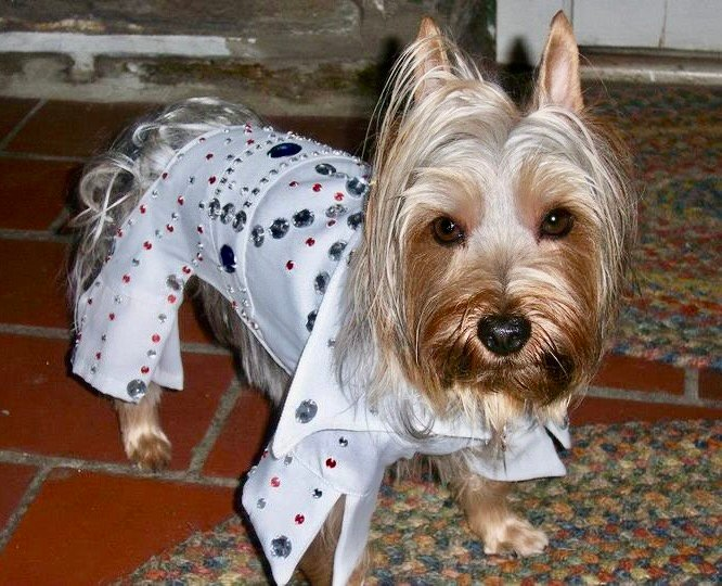 Presto, the Silky Terrier who stars in his own Facebook page, will be among the  contestants at this year's first annual canine costume parade.