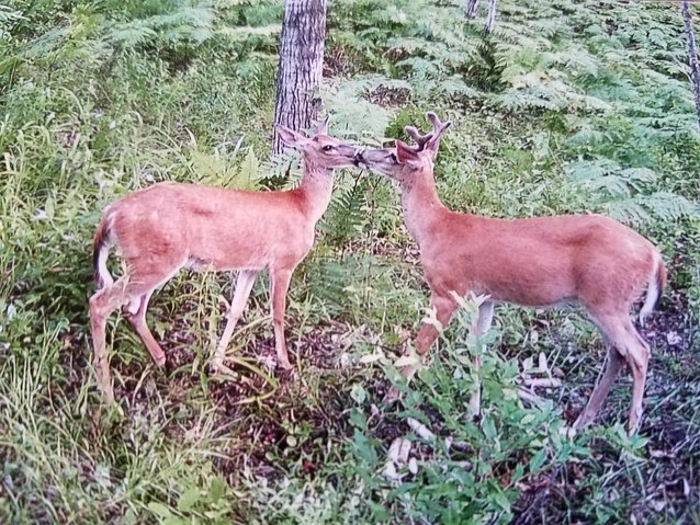 These two whitetails were caught smooching on the trail cam of Paul Gaedcke at Lily Lake, Greenwood Township.