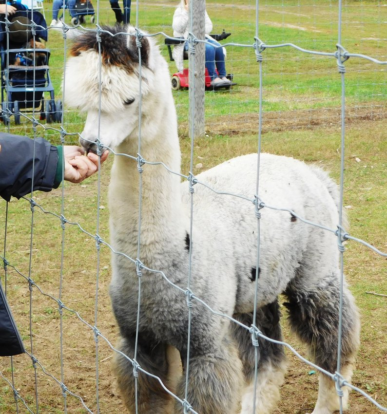 At Alpaca Farm Days, alpacas are the stars of the show. Here, a visitor at Living the Good Life Alpaca Acres takes the opportunity to provide a small treat for Malachite, which he obviously enjoys. Also pictured are mom Sandy and her cria Sammy, this year's happy-ending story.