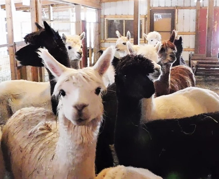These ladies are all ears for Sam Keith, while he answers visitors' questions about alpaca habits, health and fleece during the Dec. 7 Christmas with the Alpacas event at Living the Good Life Alpaca Acres.
