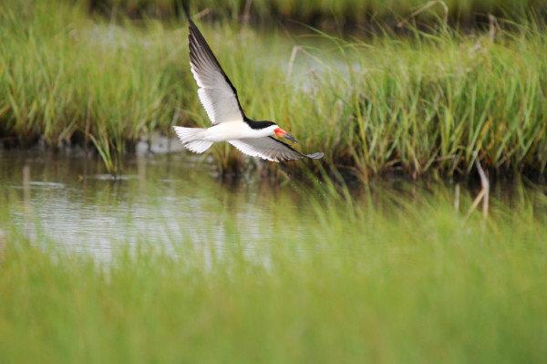 Skimmer-MCleryA skimmer flies over wetlands at Fowler Beach. Delaware State News/Marc Clery