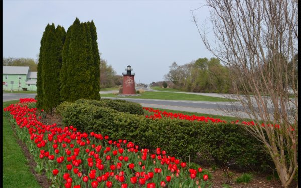 Dover Public Works officials have been reporting that tulip bulbs are being removed from certain flower beds throughout the city.