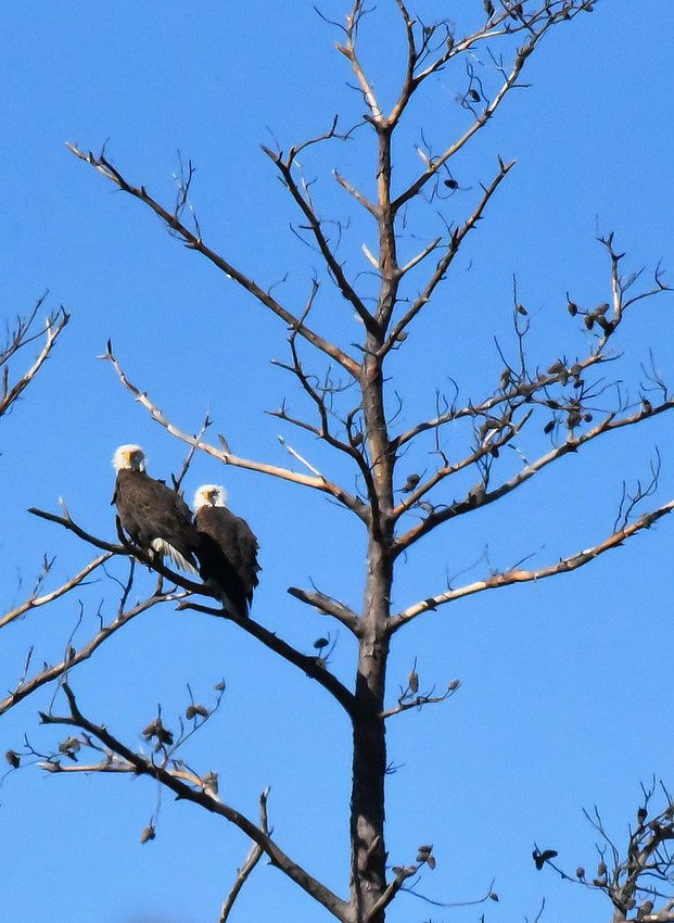 Local photographer and writer Tracy Sahler recently captured this photo of two eagles at Blackwater National Refuge. The eagle population has soared on the Lower Shore in recent years.
