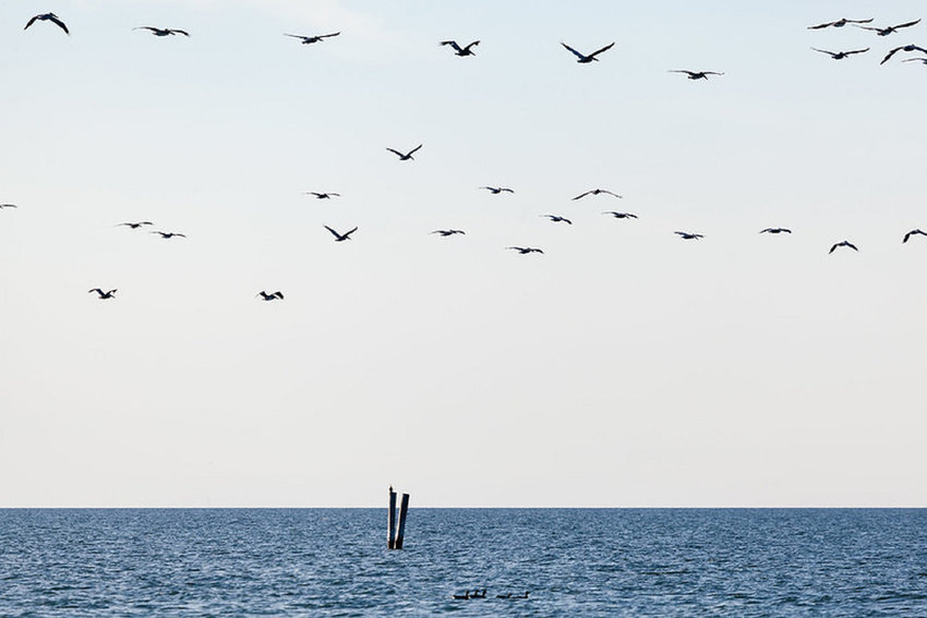 Pelicans fly over the waters southwest of Smith Island on Oct. 27, 2014.