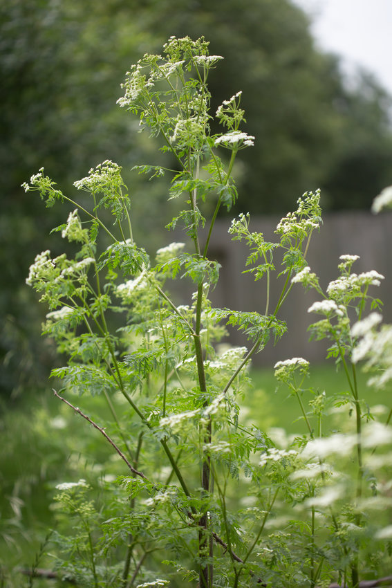 Wild poison hemlock plants, identifiable by their spotted stems, have been found recently in Sussex County wetlands.