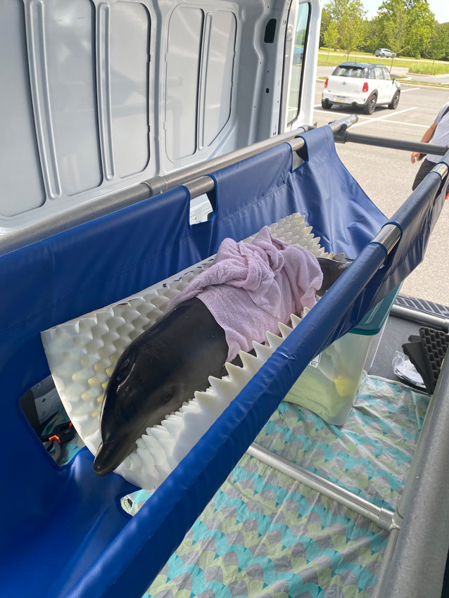 This 2- to 3-month old calf is wrapped in wet towels after rescue from rocky watersin New Castle. The dolphin's skin was already showing signs of sunburn as well as severe dehydration and malnourishment.