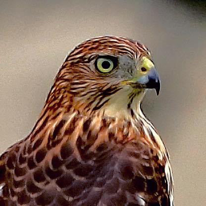 Denise Deskiewicz of Greenwood took this photo of a red-tailed hawk in her backyard in Blair's Pond Estates on July 21. To contribute your scenic photos of our area, email newsroom@newszap.com. Photos must be at least 200 dpi and include your name, where and when your photo was taken, where you live and your phone number. To see more Scenic Delaware photos, visit the Scenes from Bay to Bay section at BaytoBayNews.com. ..