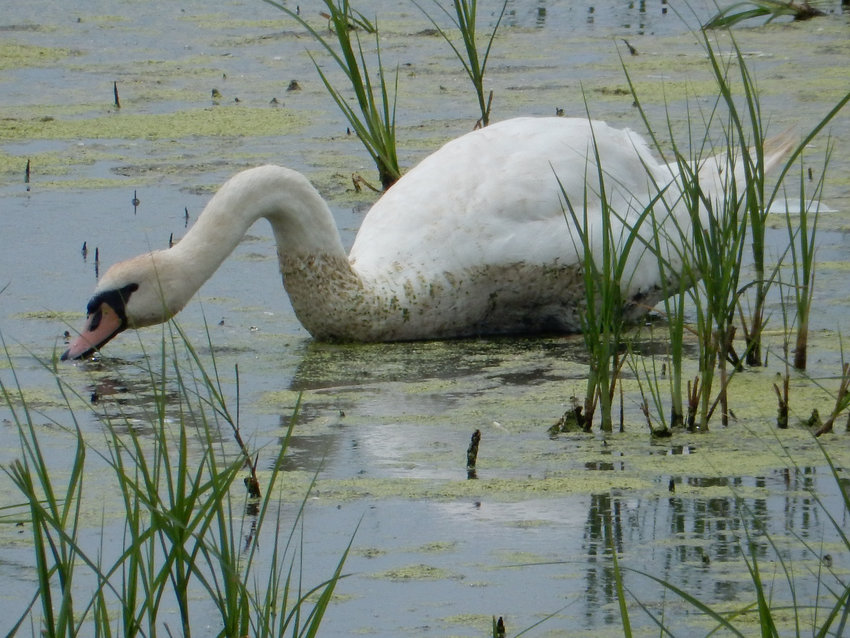 Alex Cisar of Dover took this photo of a mute swan at Bombay Hook National Wildlife Refuge on July 26. To contribute your scenic photos of our area, email newsroom@newszap.com. Photos must be at least 200 dpi and include your name, where and when your photo was taken, where you live and your phone number. To see more Scenic Delaware photos, visit the Scenes from Bay to Bay section at BaytoBayNews.com. .