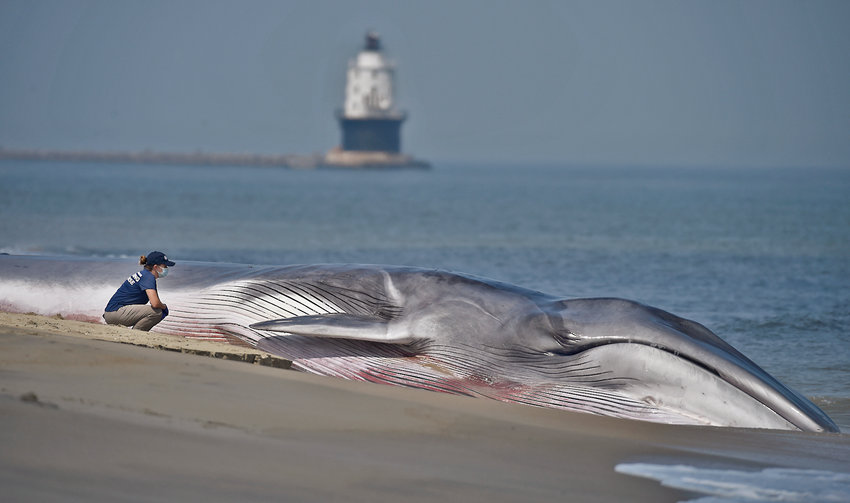 A member of the Virginia Aquarium & Marine Science Center Stranding Response team, based in Virginia Beach,  sits next to to a dying 50-foot fin whale that was stranded for the second day on the oceanside of The Point at Cape Henlopen State Park in Lewes on Friday afternoon. The whale soon died, possibly from a disease. Fin whales are the second largest whales in the world.    Butch Comegys / Special to the Delaware State News