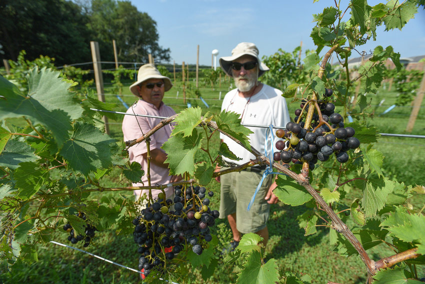 Dr. Naveen Kumar Dixit gives a tour of his grapes Aug. 14.
