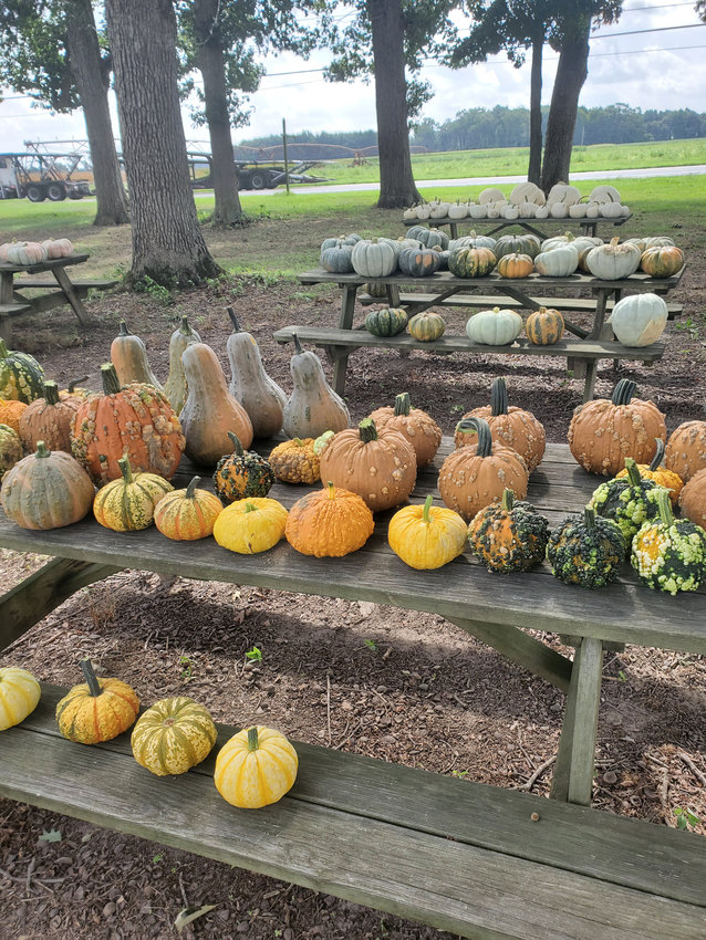 A demonstration planting of specialty pumpkins at the University of Delaware yielded winter squashes of all shapes, sizes and colors. Environmental officials say those decorating with pumpkins should take care when disposing of them.
