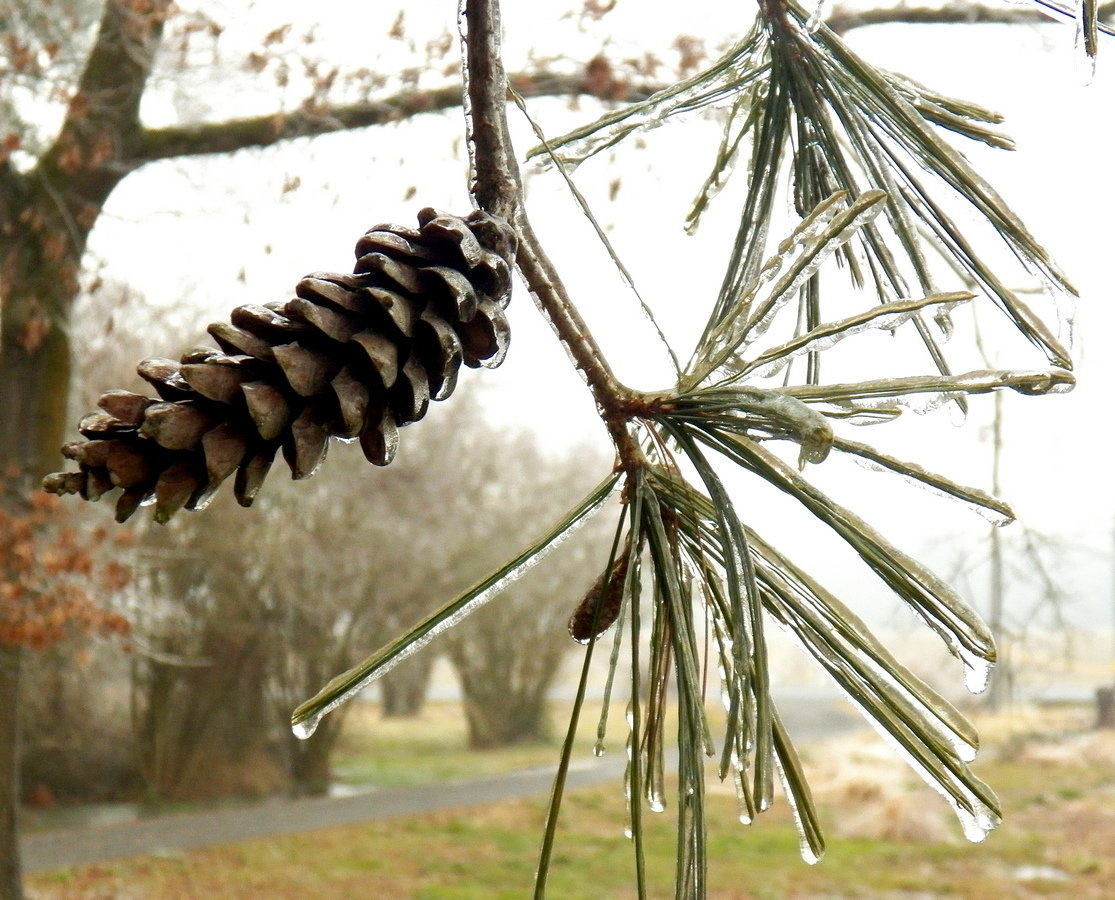 A white pine in Seaford is coated in ice.