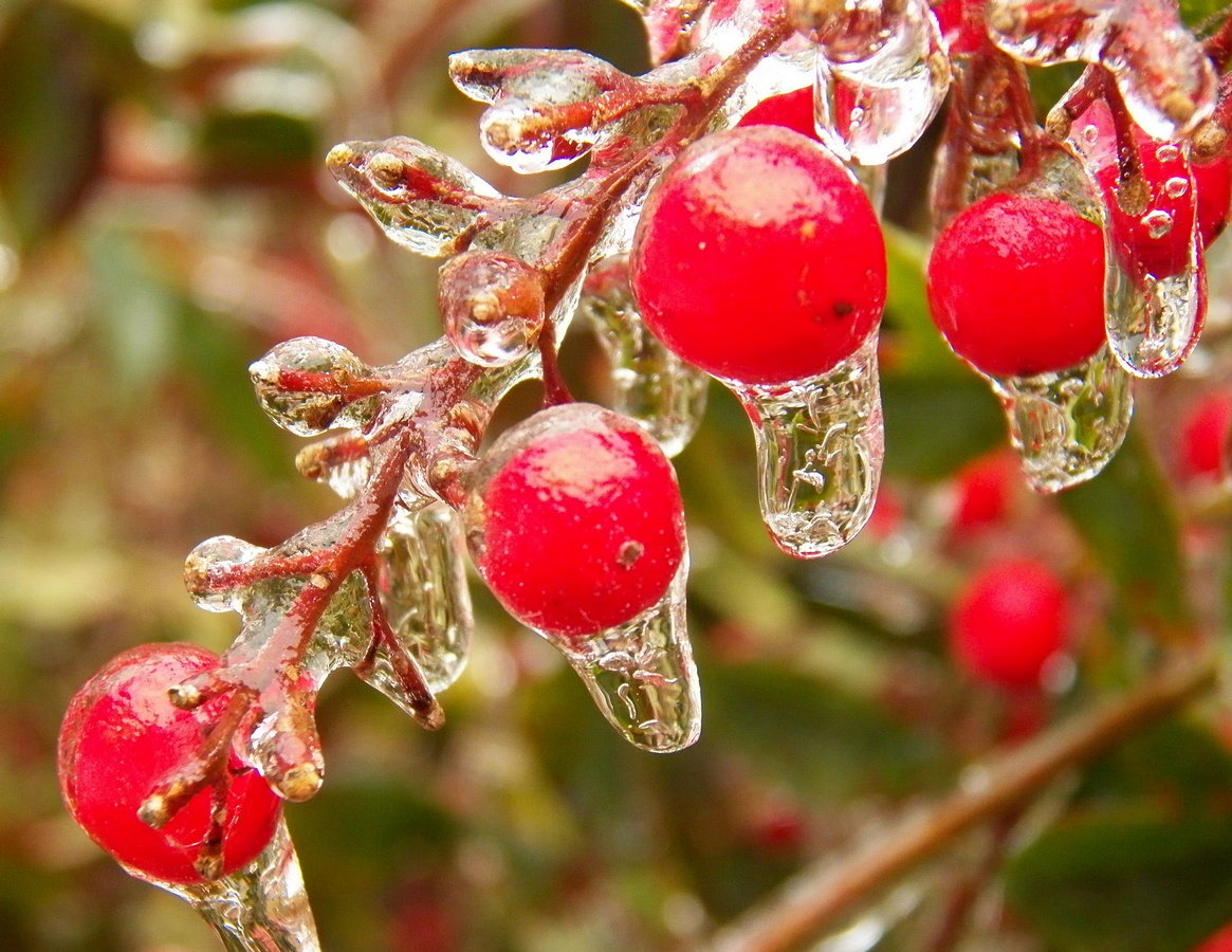 Nandina berries are a colorful contrast in Thursday's freezing rain and ice event.