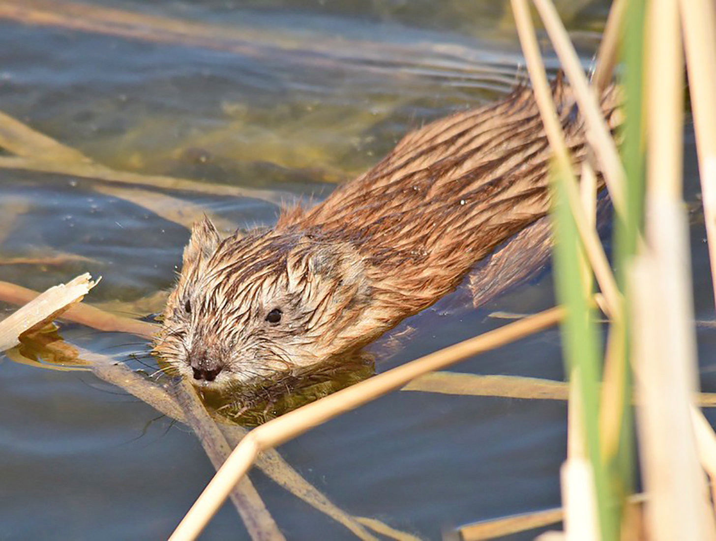 The muskrat is a behind-the-scenes marshmaker.