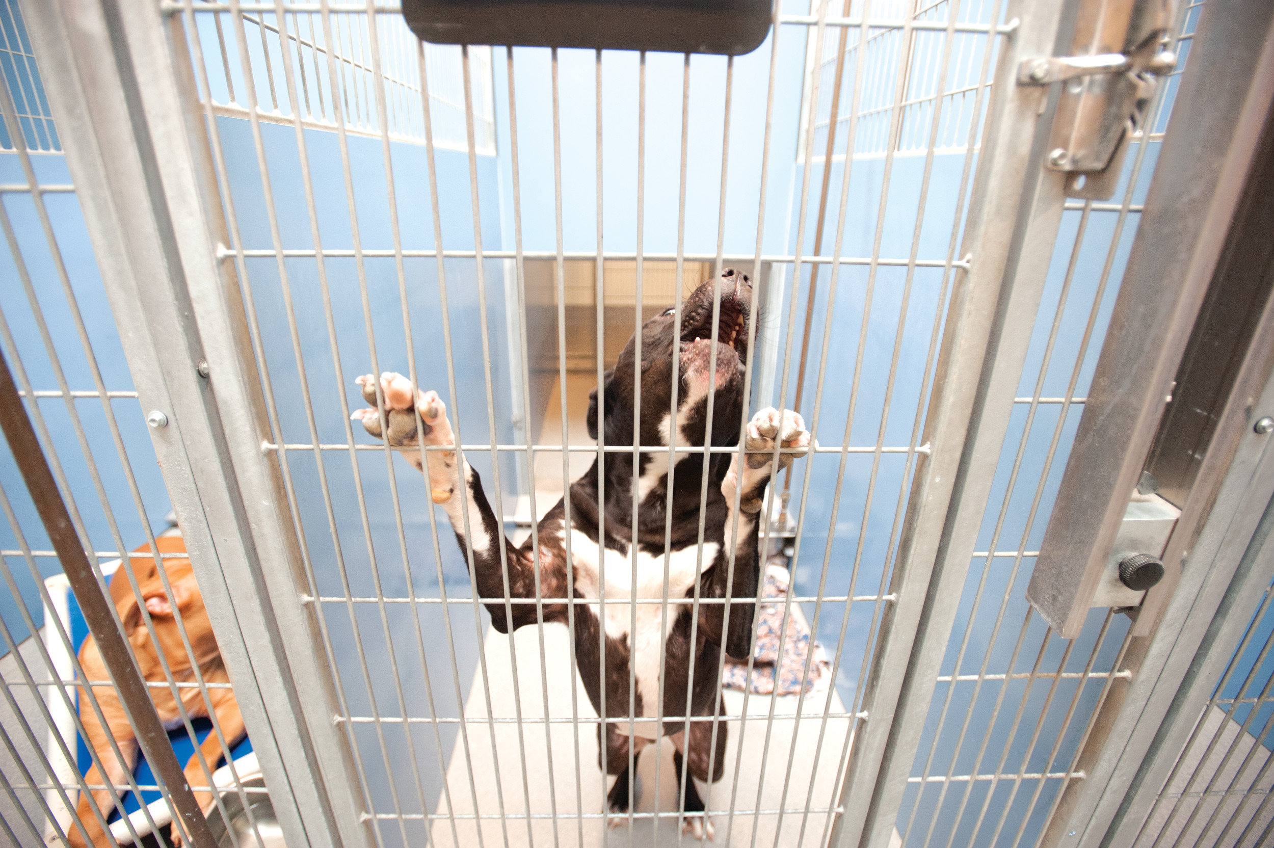 A pitbull barks for attention at the city of Jacksonville's animal shelter. Photos: Dennis Ho