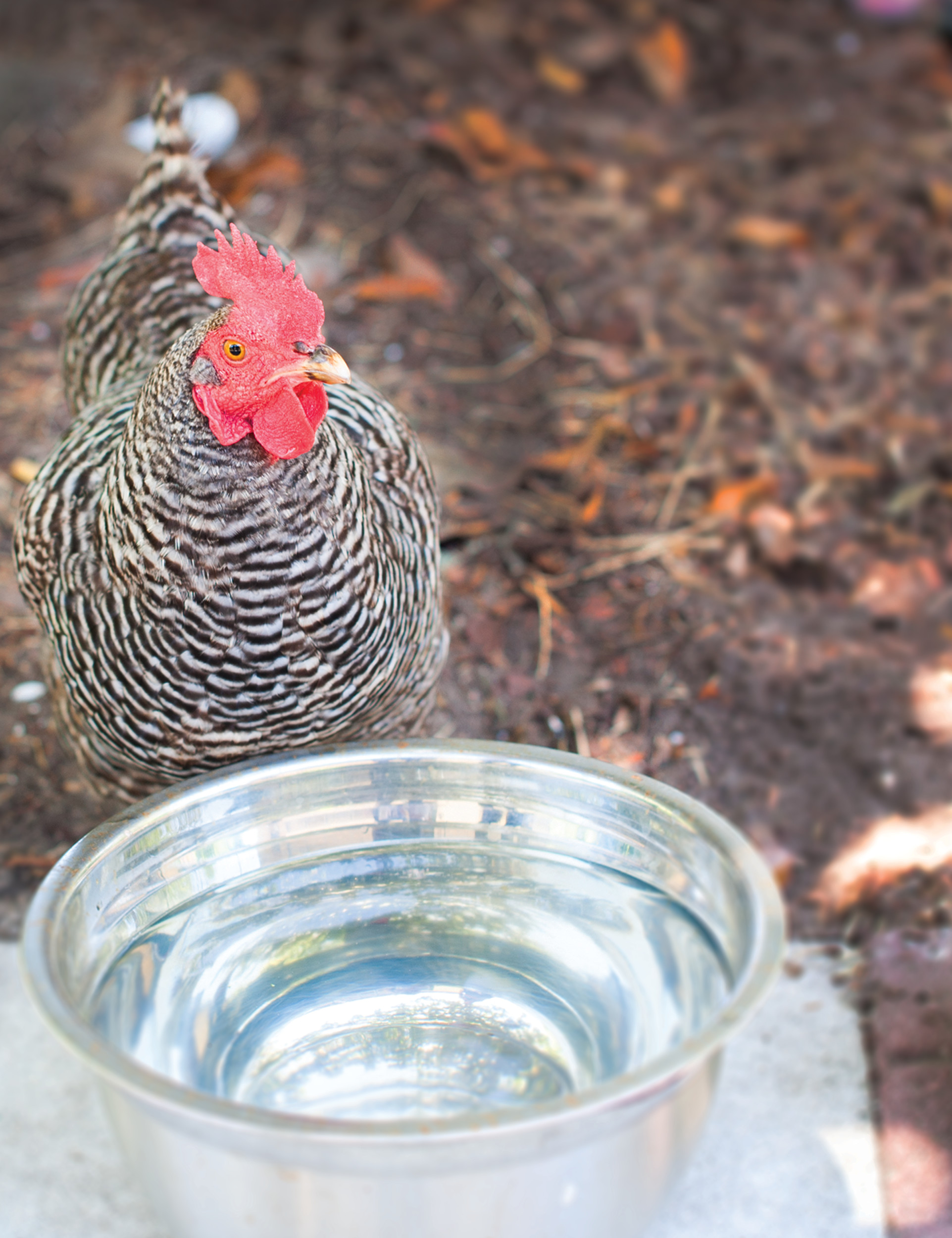 This Plymouth Barred Rock named Attila has her own waterbowl and lives with two other chickens in Elena Smith's St. Augustine backyard.