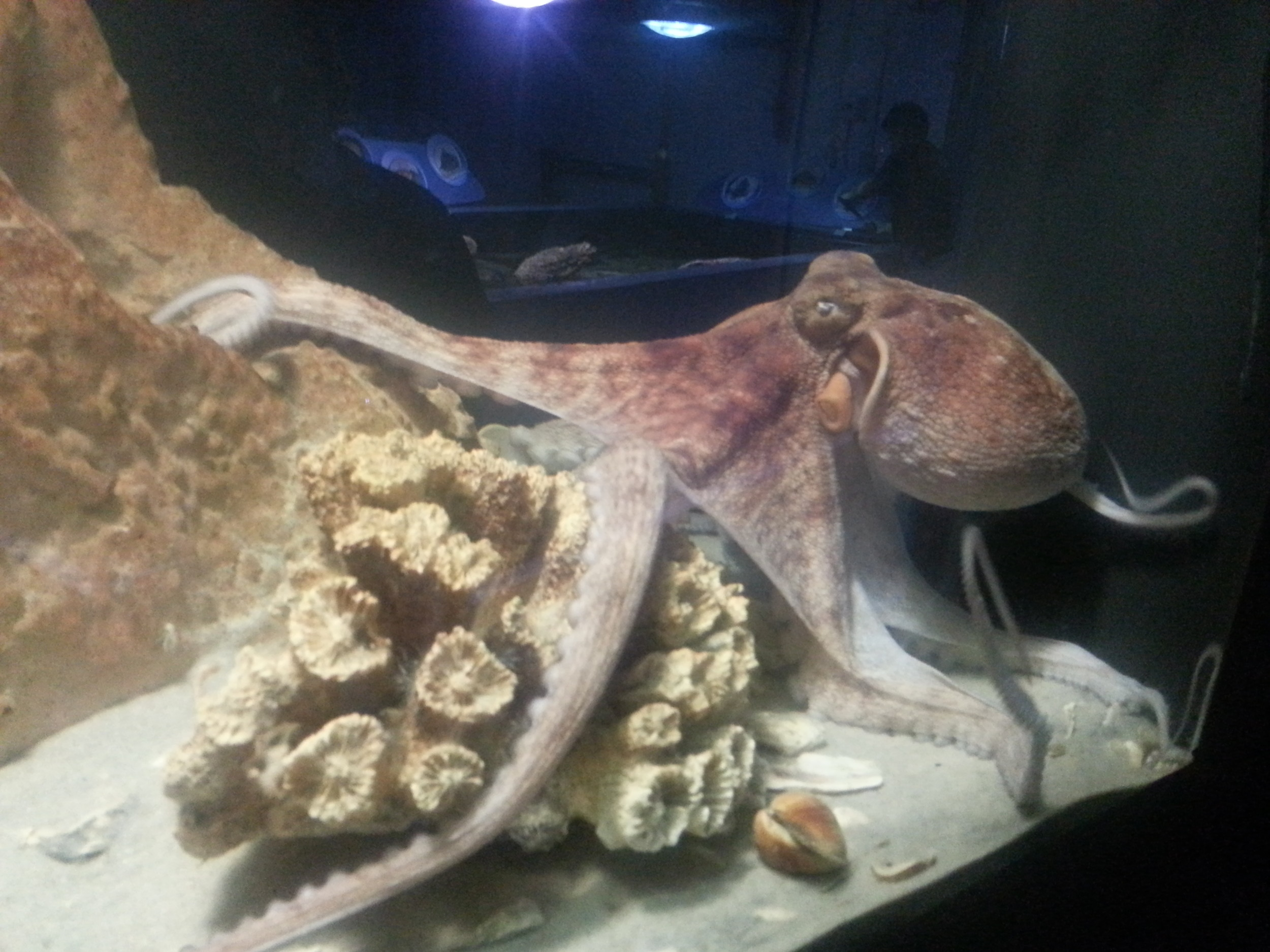 "This octopus is one of many creatures to view on the ""Behind the Seas"" tour at Marineland."