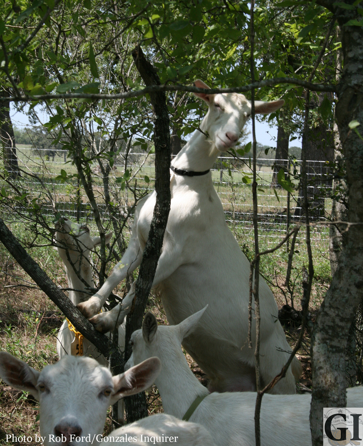 One of Kelly Allen's dairy goats hits the heights en route to a dinner of fresh mesquite leaves.