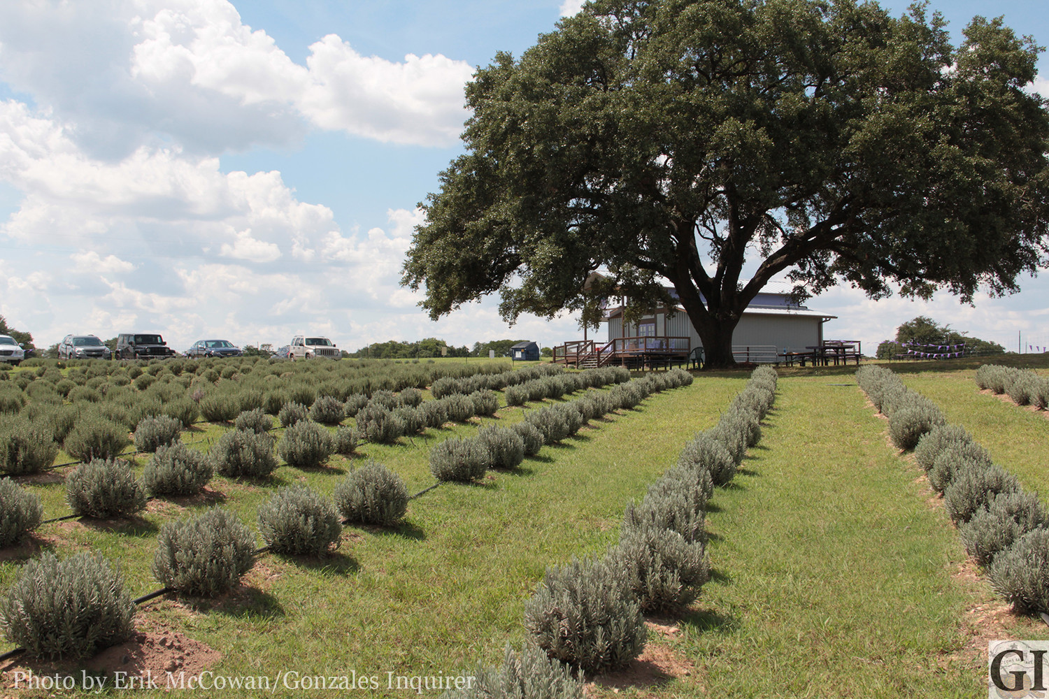 Just north of I-10 and east of U.S. 183 sits Luling Lavender Fields, where a local family is hoping to establish a new market for these sweet-smelling purple buds.