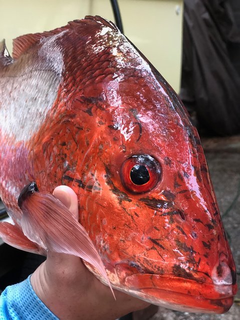 The Alabama Department of Conservation and Natural Resources' (ADCNR) Marine Resources Division (MRD) will open weekends for red snapper fishing for private recreational anglers beginning Saturday, Oct. 17, 2020. The weekends will consist of Saturdays beginning at 12:01 a.m. and run until midnight on Sundays. The weekends will remain open until the Alabama private angler red snapper quota has been met.