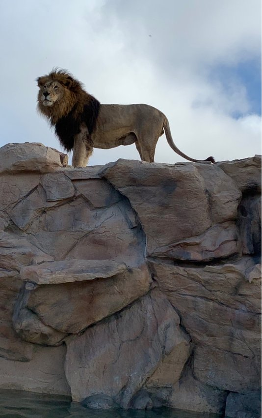 Alabama Gulf Coast Zoo announced the passing of Simba. The 16-year-old male lion had been diagnosed with cancer.