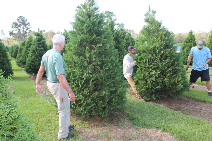 Steve Mannhard, owner of Fish River Christmas Tree Farm in Summerdale, along with Ismael Pruitt and Jeffrey Thumser, work to prop up trees the day after Hurricane Zeta blew through the farm on Oct. 28.