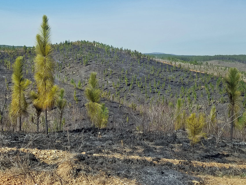 The aftermath of a controlled burn in a young longleaf pine plantation shows the benefit of prescribed fire.