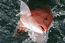 The red snapper daily bag limit remains at two fish per person with a minimum total length of 16 inches.