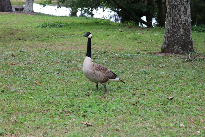 The number of Canada geese is increasing in the parks near the Fairhope Municipal Pier. City officials said about 130 of the birds are in the parks at North Beach and South Beach after most were removed in 2020. Fairhope is looking at plans to remove many of the Canada geese during the summer molting season in the next month.