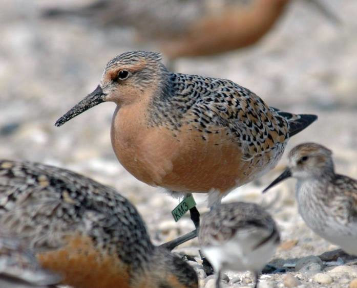 Red knots are one of the two bird species listed as threatened who frequent the West End of Dauphin Island