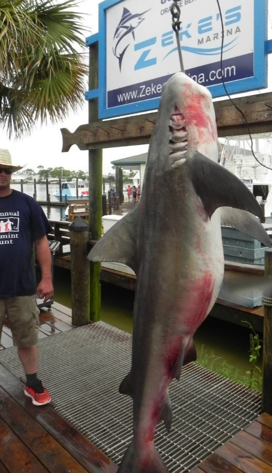 This shark was caught on Aug. 4 on the Fair Water II out of Zeke's Marina in Orange Beach.