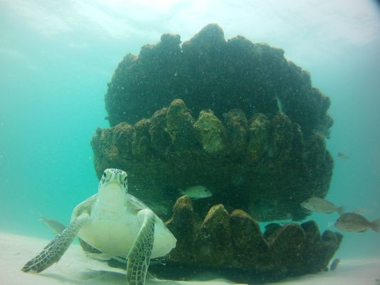 A Turtle Swims By Snorkeling Reef Deployed Walter Marine
