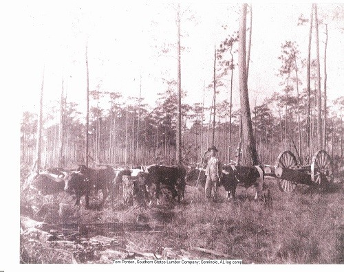 Tom Penton pulling oxen with cart at Southern States Lumber Company.