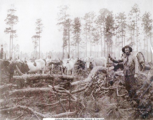 Worker leading oxen.