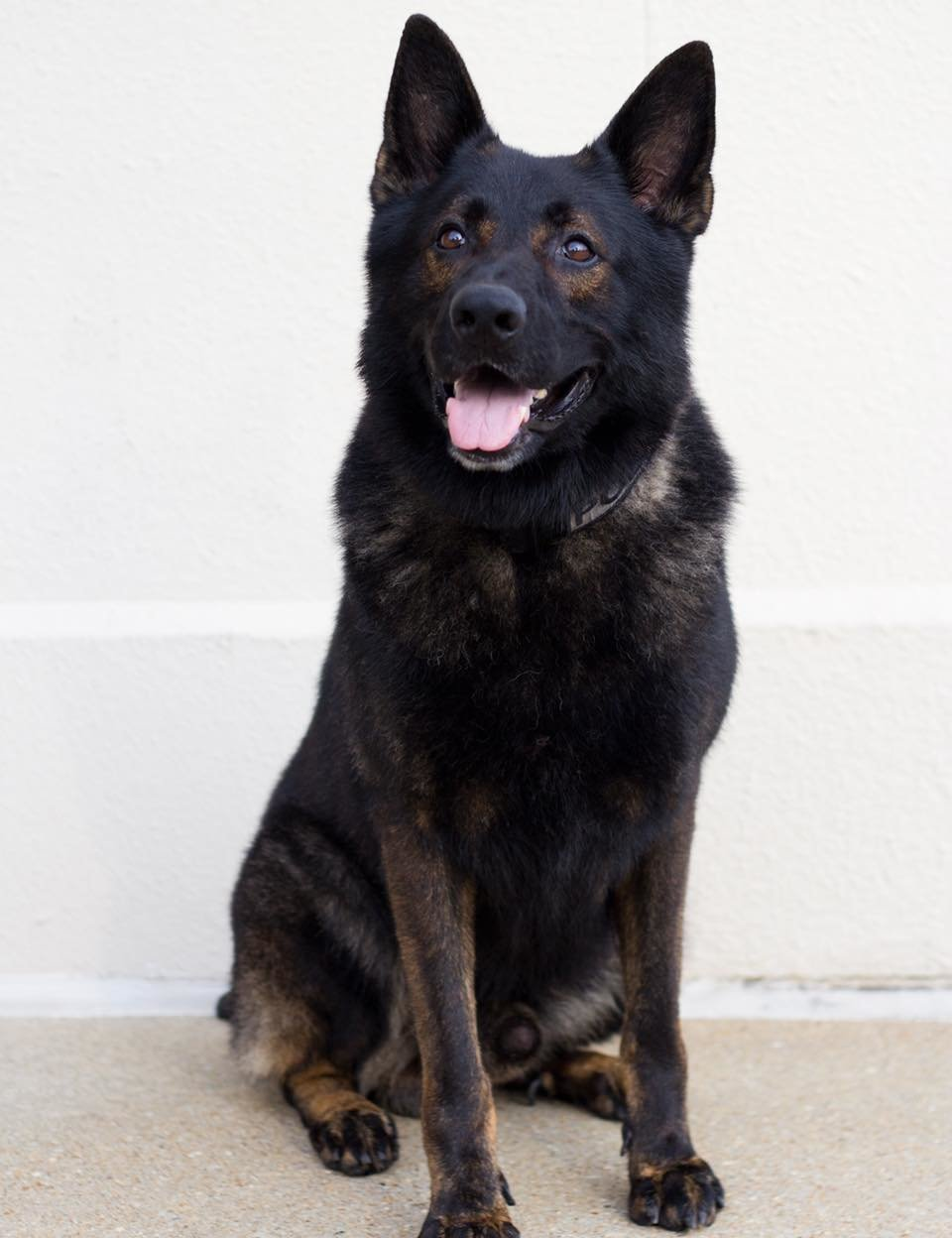 Gulf Shores Police Department announced the passing of retired K9 Office Nanuk May 12.