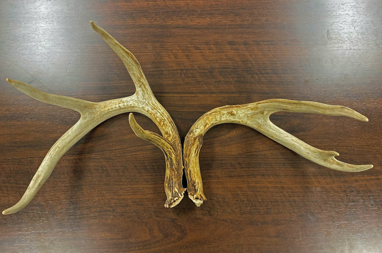 Damage to the pedicle, rather than genetics, caused this buck to have a malformed antler.